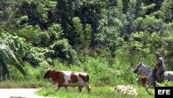 Un campesino pastorea una vaca en La Habana (Cuba).