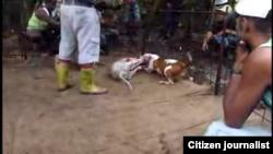 Peleas de perros en Cuba