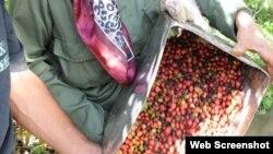 Cosecha de café en Cuba