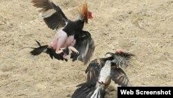 Peleas de gallos en la ciudad de Bayamo.
