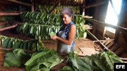 Campesinos carecen de recursos para aumentar producción tabacalera