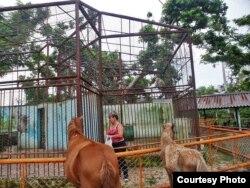 Una vecina de la zona alimenta a los macacos en el Zoológico de Caibarién.