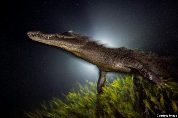 Un cocodrilo americano, tesoro de las aguas cubanas, entre las mejores fotos del año de National Geographic.