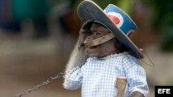 Un mono amaestrado hace un saludo militar